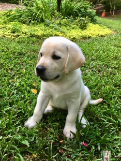 Cream yellow Labrador Retriever Bodhi