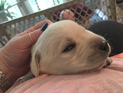 White Labrador Retriever pup getting a scratch on the neck