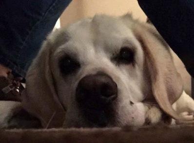 An old Labrador Rteriever up close