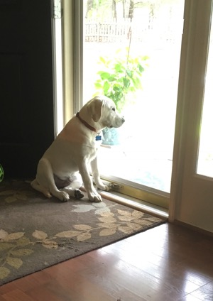 Labrador retriever sitting looking out the door