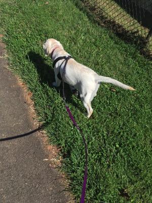 Cream yellow Labrador Retriever walking on a lead