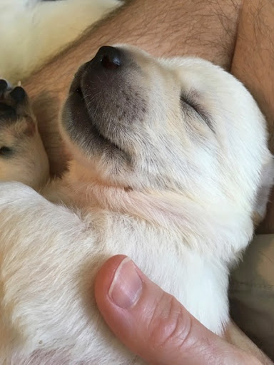 White Labrador Retriever pup at two weeks old