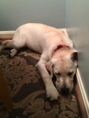 Another shot of the same sleeping Labrador Retriever