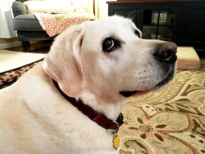 Our white Labrador Retriever