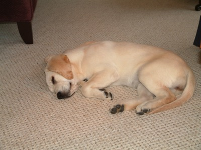 Picture of a Labrador Retriever asleep on a carpet