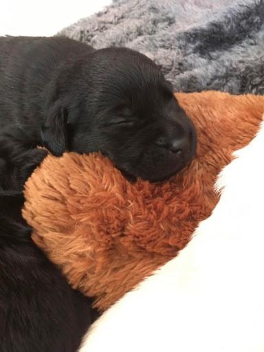 A black Labrador Retriever pup snoozing away the day