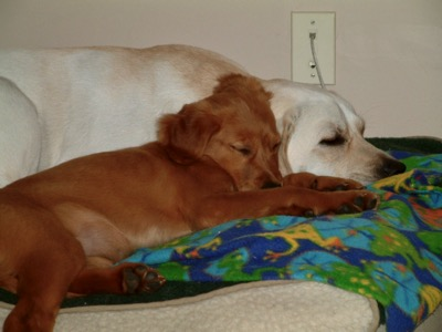 Two dogs laying together